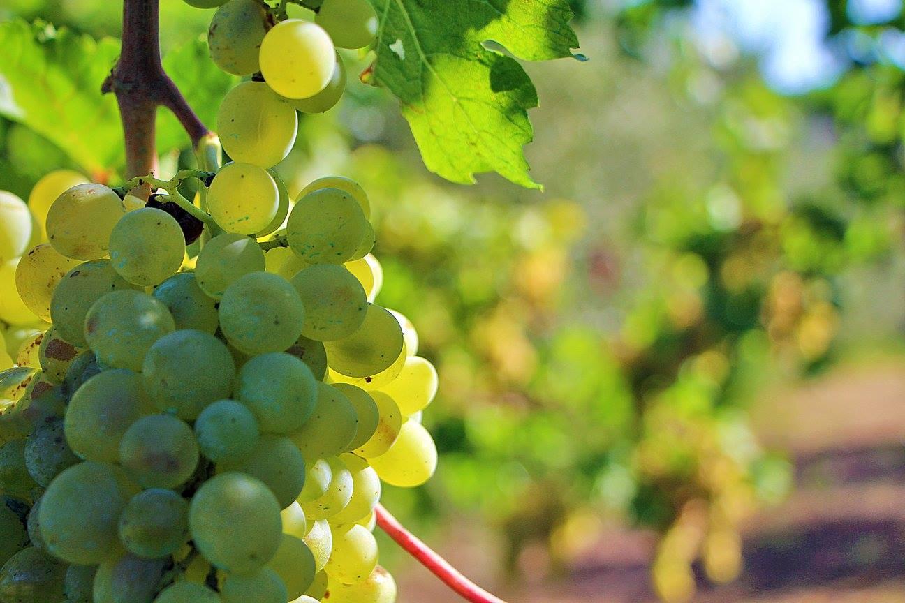 Sommalier: storia di un vino gentile.