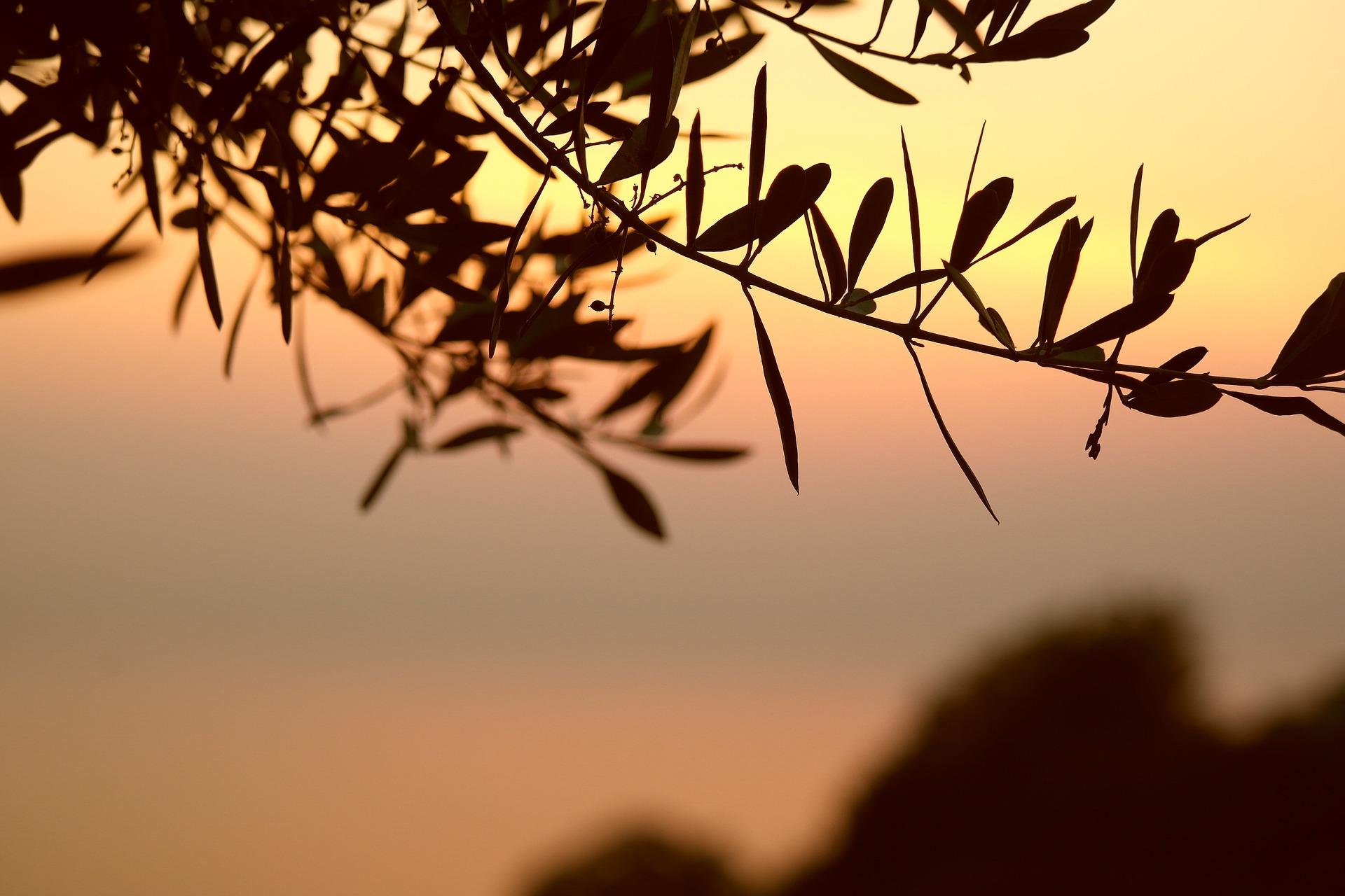 L'ulivo come simbolo: dalla Grecia alla Bibbia.